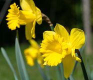 Daffodil, Narcissus pseudonarcissus Royalty Free Stock Images