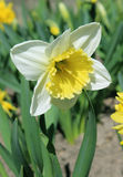 Daffodil, narcissus - spring flowers in the garden Stock Photos