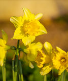 Daffodil narcissus spring flowers Royalty Free Stock Photo