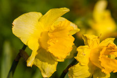 Daffodil narcissus spring flowers Stock Image