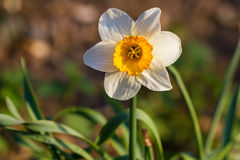 Daffodil narcissus spring flowers Stock Images