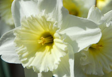 Daffodil Narcissus white yellow flower Royalty Free Stock Photos