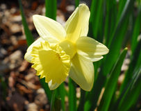 Daffodil Narcissus yellow flower Royalty Free Stock Photography