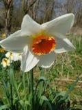 Daffodil narcyza kwiat obraz stock