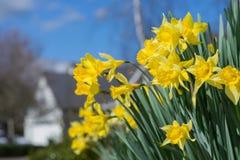 Daffodil Neighborhood Royalty Free Stock Images
