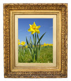 Daffodil nel telaio antico dell'oro Immagini Stock