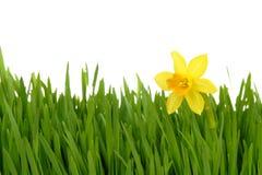 Daffodil nell'erba verde Fotografia Stock