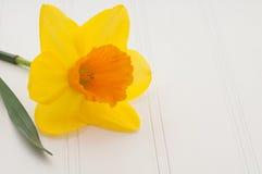 Daffodil no fundo da placa branca com espaço da cópia Imagem de Stock Royalty Free