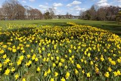 Daffodil ogród Zdjęcia Stock