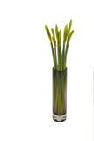 Daffodil pączkuje w szklanej wazie Zdjęcia Royalty Free