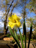 Daffodil in park. Narcissus. Bright spring flower Stock Image