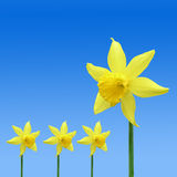 Daffodil pattern Stock Photography