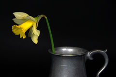Daffodil in pewter pitcher Stock Photography