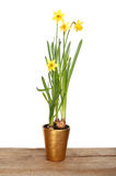 Daffodil plant on a board Stock Images
