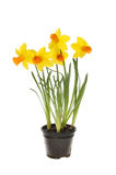 Daffodil plant royalty free stock images