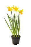 Daffodil plant in a pot Royalty Free Stock Images