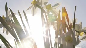 The daffodil on a plant. The white daffodil on a plant at spring stock video footage
