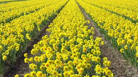 Daffodil plantation. Plantation of daffodil flowers blooming and swinging under a sunny spring at Lisse, Keukenhof, Netherlands stock video footage