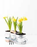 Daffodil Planter Portrait Stock Photos