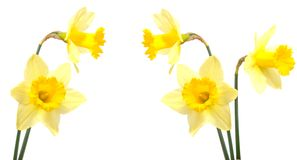 Daffodil plants Royalty Free Stock Photos