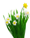 Daffodil Plants Stock Photo