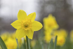 Daffodil plants in the spring time Royalty Free Stock Photography