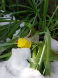 Daffodil Pod lodem i śniegiem, wiosna opad śniegu Zdjęcia Royalty Free