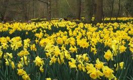 daffodil pole Obraz Royalty Free