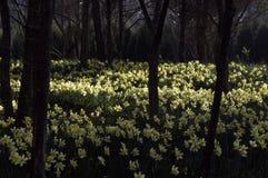 daffodil pole Zdjęcie Stock