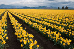 Daffodil pole Fotografia Stock
