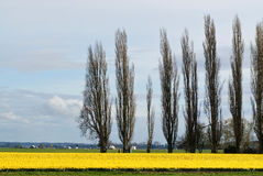Daffodil pole Zdjęcie Royalty Free