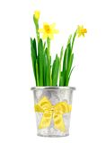 Daffodil in a pot Stock Images