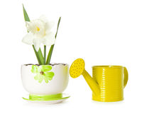 Daffodil in pot Royalty Free Stock Photography