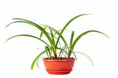 Daffodil  in  pot. Isolated on white Royalty Free Stock Photo
