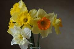 Daffodil przygotowania Obraz Royalty Free