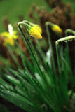 Daffodil in the rain. Daffodil bud in the rain Stock Images