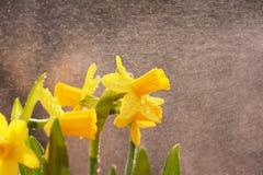 Daffodil Rain Royalty Free Stock Photography