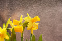 Daffodil rain Royalty Free Stock Photography