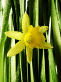 Daffodil with rain drops  macro Stock Photo