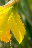 Daffodil after rain shower Royalty Free Stock Photo