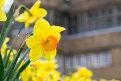 The Daffodil after the rain. Stock Photos
