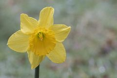 A daffodil on a rainy day in the Old Cemetery, Southampton Common stock photography