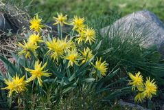 Daffodil Rip Van Winkle narcissus flowers and Festuca glauca stock images