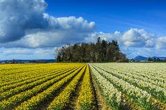 Daffodil Rows near Mt Vernon, Washington Royalty Free Stock Images