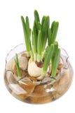 daffodil rozsada Zdjęcia Stock