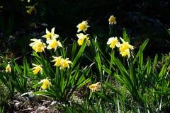 Daffodil selvatico Fotografia Stock