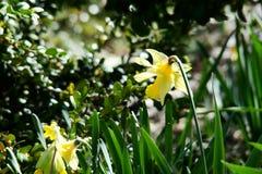 Daffodil selvatico Fotografia Stock Libera da Diritti