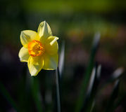 Daffodil. Single daffodil, backlit by sunlight Stock Images