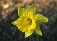 Daffodil. Single daffodil in early spring stock photos