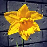 Daffodil. Single daffodil flower bloom with grey background nature royalty free stock photos